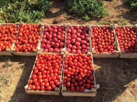В Ахтубинском районе пик уборки урожая овощей