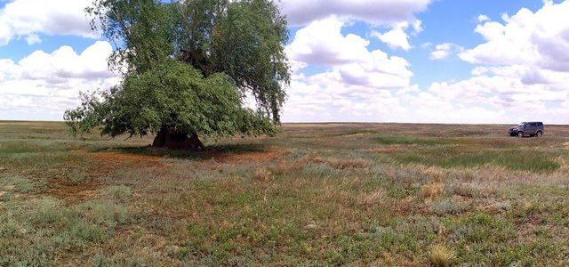 На территории Богдинско-Баскунчакского заповедника растет дерево-гигант