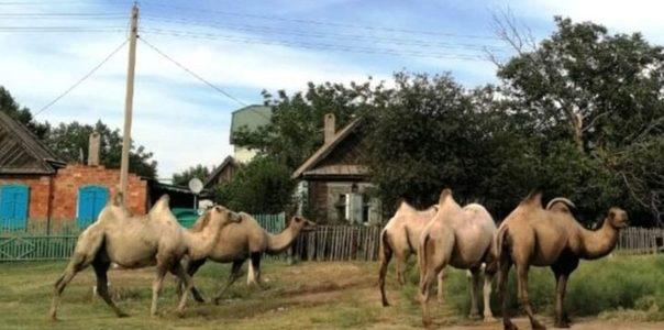«Сметают всё на пути». Стадо одичавших верблюдов держит в страхе жителей Астраханской области