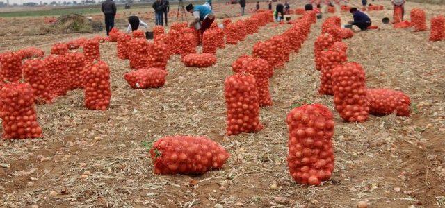 В Ахтубинском районе продолжается сбор урожая лука